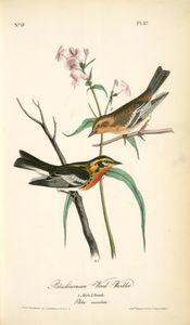 John James Audubon - Blackburnia Wood-Warbler . 1 . 男性 , 2 . 女性 .